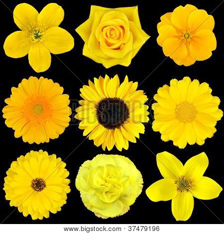 Collection Of Nine Yellow Flowers Isolated On Black