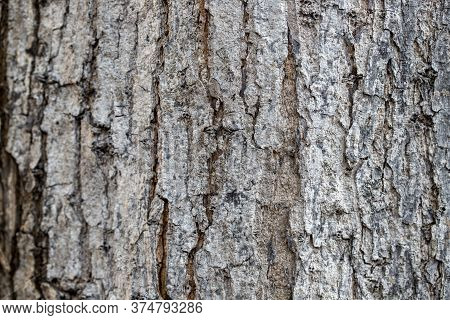 Pale Bark Texture Closeup. Faded Weathered Bark With Cracks. Natural Textured Background. Rustic Woo