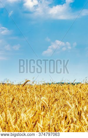 A Field Of Ripe Wheat Against A Blue Sky. A Path In An Agricultural Field Of Ripe Grain Crops. Harve