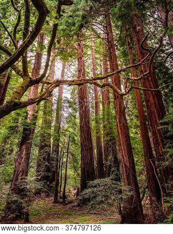 Sunbeams Through Redwood Forest. Muir Woods National Monument, Mount Tamalpais In Southwestern Marin