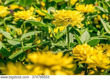 Yellow Zinnia Elegans Or Common Zinnia Flowers On A Field. Spring Flower Landscape.