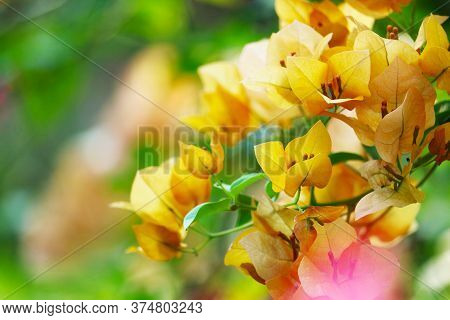 Bougainvillea Flowers Yellow Color White Pollen Blooming In The Garden In Rainy
