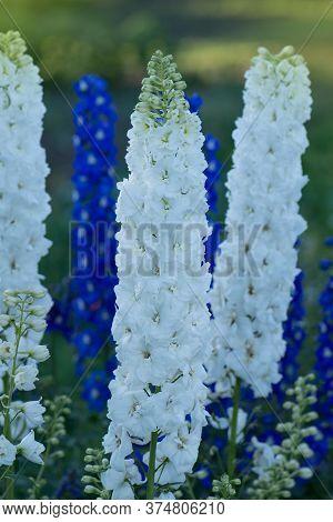 Delphinium Double Flowers. Candle Delphinium Or English Larkspur