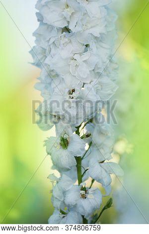 Delphinium Flowers Plant Growing In Garden