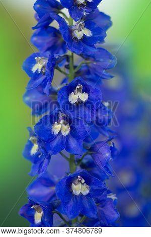 Delphinium Blue Dawn Flowering Plant.
