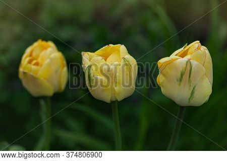Double Fringed Yellow Tulip Beauty Of Apeldoorn