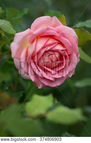 Bush Of Pink Roses Jubilee Celebration