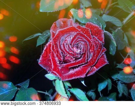 Red Rose Blooming In The Night Garden