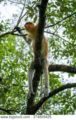 Family Of Wild Proboscis Monkey Or Nasalis Larvatus, In The Rainforest Of Island Borneo, Malaysia, C