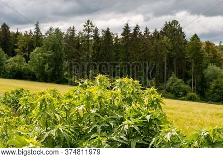 Close-up Of A Shrub Of Sida Hermaphrodita In A Field For Biomass Production In A Rural Landscape In