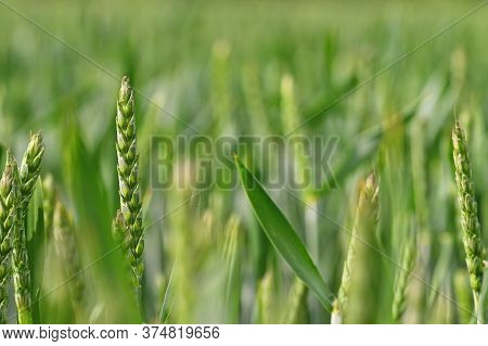 Beautiful Close-up Of Young Green Corn. Colorful Nature Background.