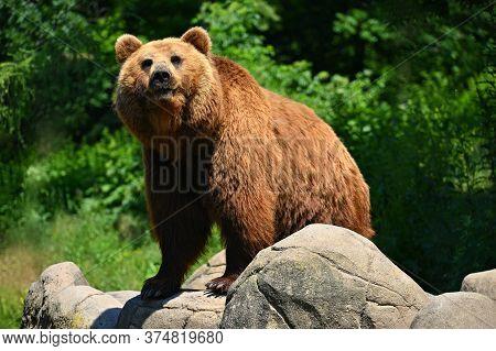 Beautiful Shot Of An Animal In Nature. Brown Bear. (ursus Arctos)