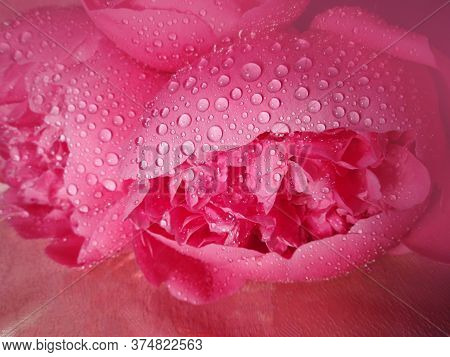 Pink Color Peonies Flowers Plant Close Up. Closeup Of Pink Peony.