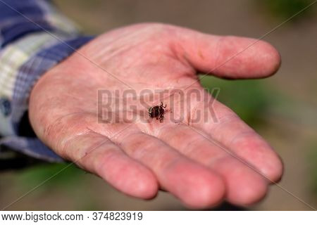 Colorado Beetle In The Palm Of Your Hand. Adult Striped Colorado Beetles