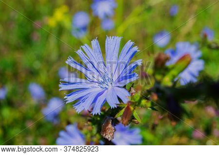 Top View Of Blue Cornflowers On A Background Of Green Leaves. Blue Cornflowers Bloom With A Blooming