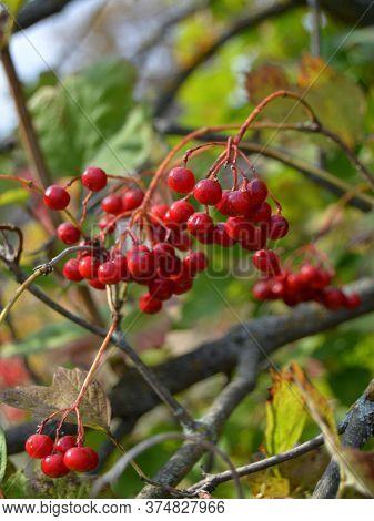 Rowan On A Branch. Red Rowan. Rowan Berries On Rowan Tree. Sorbus Aucuparia. Red Rowan Berries Tree