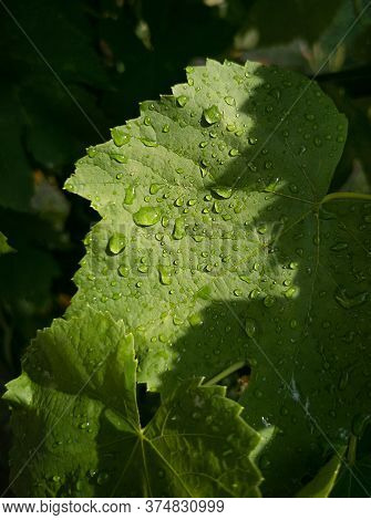 Raindrops On Green Grape Raindrops On A Grape Leaf. Leaves In The Sun With Raindrops