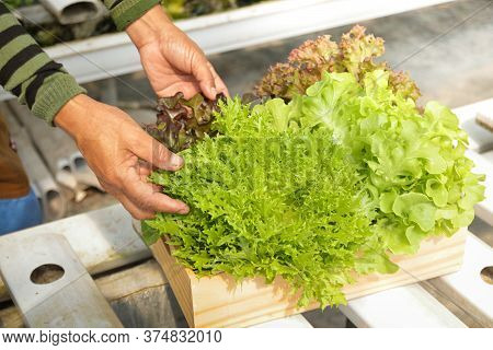Male Farmers Grow Organic Vegetables With Modern Hydroponics. Stand To Hold Salad Vegetables, Receiv