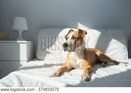 Happy Dog On Bed In Bright Sun-lit Bedroom. Pets At Home In Simple Modern Interior