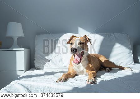 Sleepy Dog Yawns On Bed In Bright Sun-lit Bedroom. Pets At Home In Simple Modern Interior
