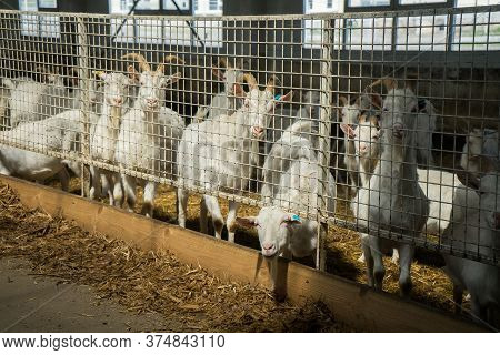A Lot Of Goats On A Goat Farm Behind Bars. Farm Livestock Of Goat Dairy Products