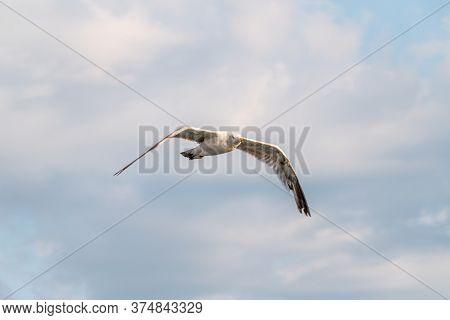 Sea Gull In The Cloudy Blue Sky. The European Herring Gull Flying In Blue Cloudy Sky Background,