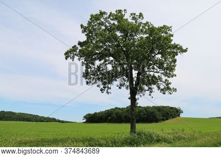 A Single Tree In A Green Field Farm With Horizon Cloudy Sunny