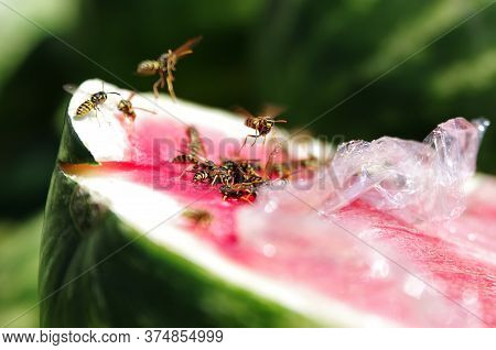Wasps Eating Watermelon Covered In Plastic Film. Wasps Flying Into Camera