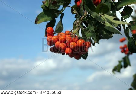 Red Berries Of Sorbus Aucuparia (rowan, European Rowan, Mountain-ash, Or European Mountain-ash). Dam