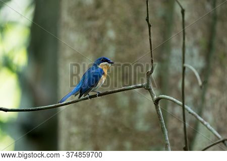 Beautiful Small Bird, Adult Female Malaysian Blue Flycatcher, High Angle View, Side Shot, In The Mor
