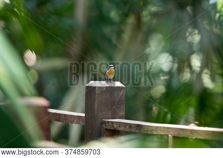 Beautiful Small Bird, Adult Female Malaysian Blue Flycatcher, High Angle View, Front Shot, In The Mo