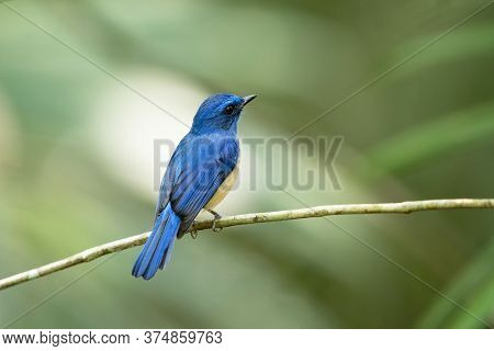 Beautiful small bird, adult male Malaysian blue flycatcher, high angle view, side shot, perching on