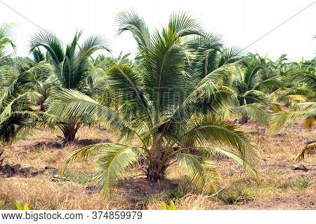 Coconut Farm, Plantation Coconut, Coconut Plam Tree In Thailand.