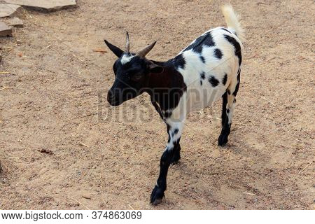Young Black And White Goat In Farmyard