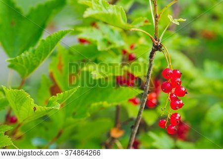 Red Currants Hanging From Bush Ready For Harvest.ed Currant Branch In Sun Light, Agriculture And Foo