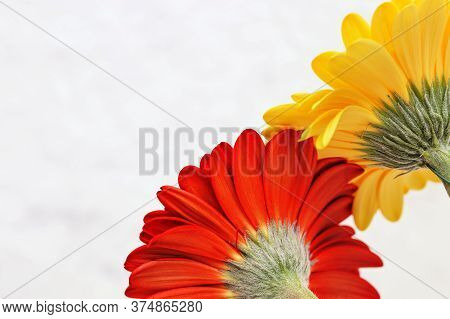 Two Gerbera Flowers In Red And Yellow, Rear View. Looking Back, Concept Of Past. Natural Flowery Bac