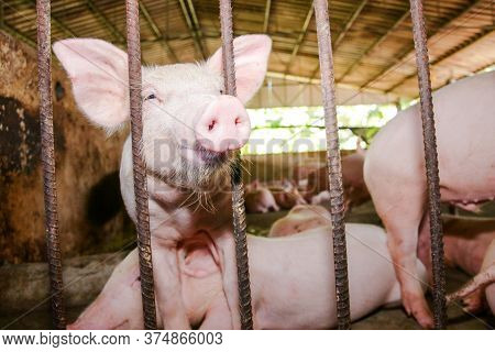 The Small Pink Piglet Was Raised In A Rural Stall. Concept Of Raising Animals For Consumption