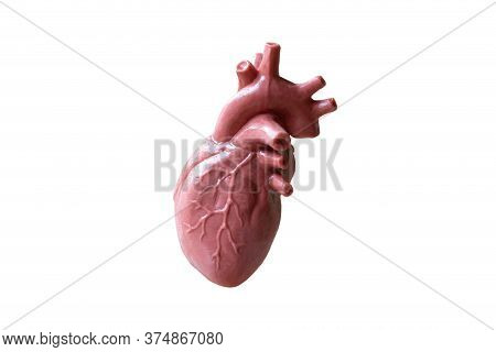 Human Heart Anatomical Model  On White Background