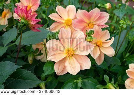 Vibrant Delicate Light Orange Dahlia Flower On Summer Sunlight In The Garden. Blooming Dahlias Flowe