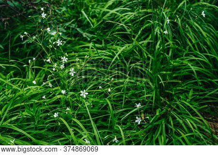 Beautiful Small Flowers Of Yaskolka Among Green Grasses Closeup. Nature Background With Little White