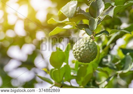 Fresh Leech Lime With Fruits On Tree,bergamot Fruit Or Kaffir Lime On Tree With Light Bokeh Backgrou