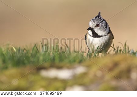 Cramenes, Leon/spain; Feb. 15, 2020. The European Crested Tit, Or Simply Crested Tit (lophophanes Cr