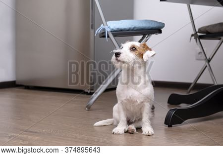 Dog  Jack Russell Terrier  Sits On The Kitchen Floor, Pet