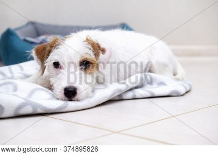 Jack Russell's Puppy Broken Lies On A Blanket On The Floor