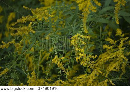 Goldenrod Wildflower, Field Plant With Yellow Flowers