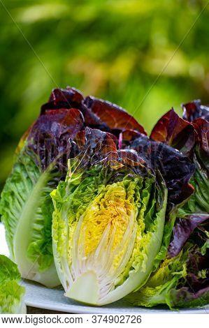 Fresh Harvest Of Violet Romaine Or Cos Lettuce, Tasty Vegetarian Food