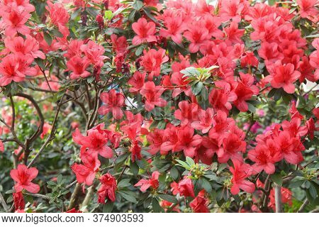 Beautiful Spring Image With Bright Flowers Of Azalea Rhododendron