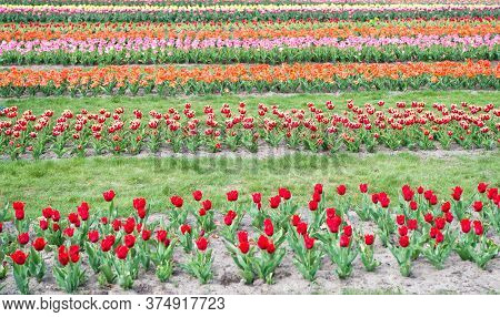 Growing Tips. Spring Landscape Park. Country Of Tulip. Beauty Of Blooming Field. Famous Tulips Festi