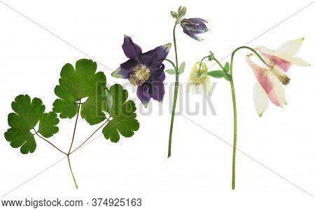 Pressed And Dried Bush With Delicate Transparent Pink Flower Aquilegia Vulgaris, Isolated On White B