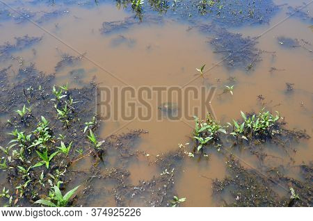 Turtle In Muddy Water With Algae And Plants